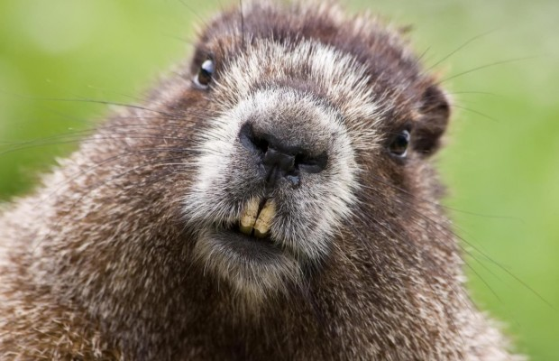 620_400_1365687942beaver_face_teeth_fur_29571_1280x960[1]